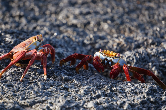 Crab wars // (c) 2013 Janeen Christoff
