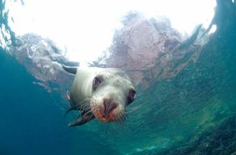 Swim with the sea lions at Espiritu Santo // (c) 2014 La Paz Tourism Board